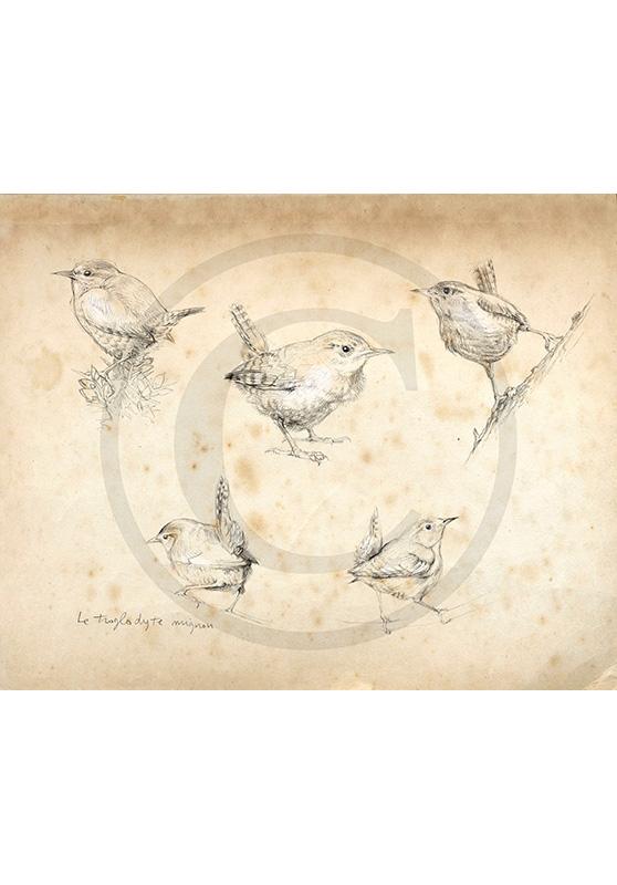 Marcello-art : Ornithologie 212 - Troglodyte mignon