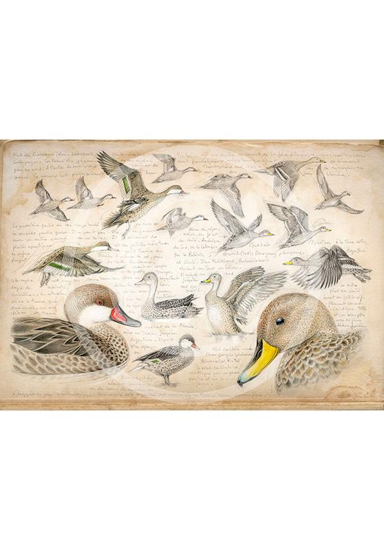 Marcello-art: Ornithology 234 - White-cheeked pintail & Yellow-billed Pintail