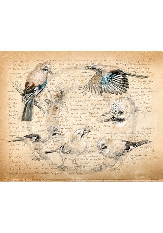 Marcello-art : Ornithologie 273 - Geai des chênes