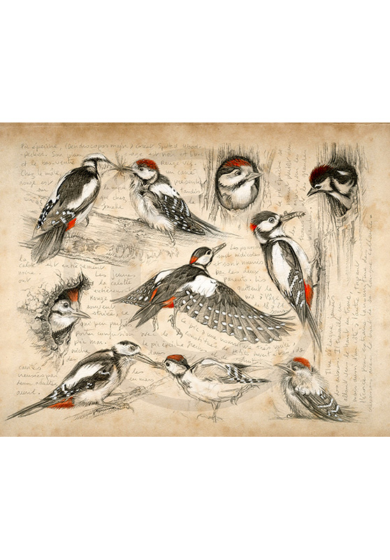 Marcello-art: Ornithology 327 - Great Spotted Woodpecker