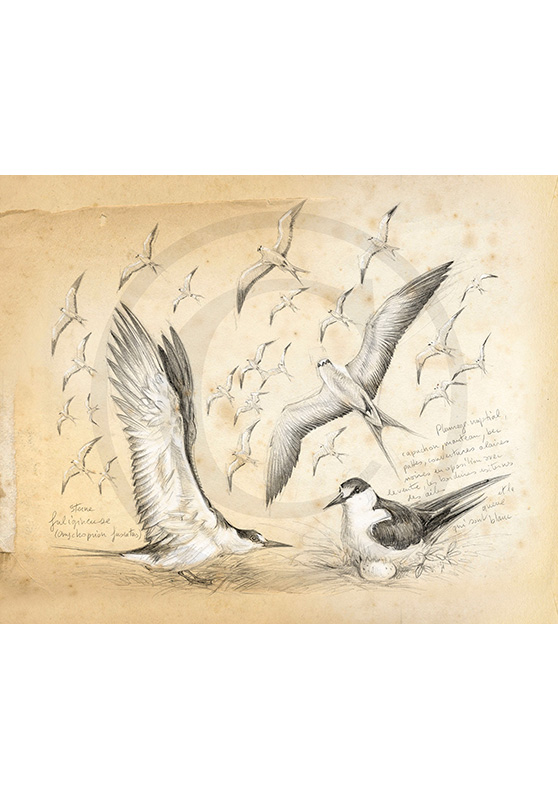 Marcello-art : Ornithologie 337 - Sternes fuligineuses