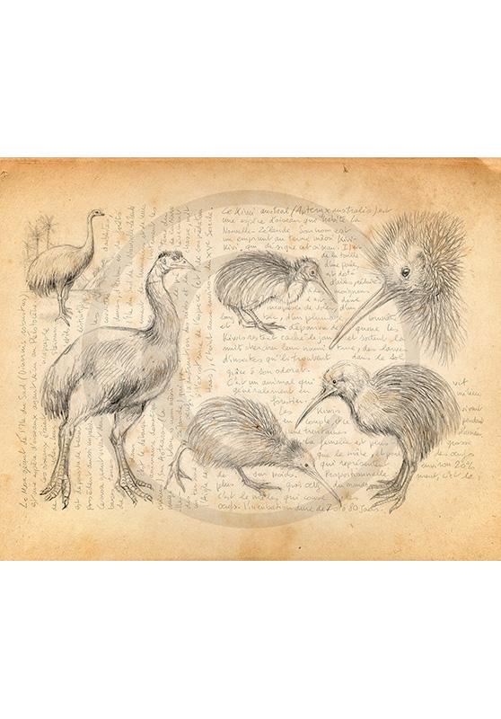 Marcello-art : Ornithologie 375 - Moa et kiwi
