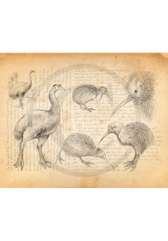 Marcello-art: Ornithology 375 - Moa and kiwi