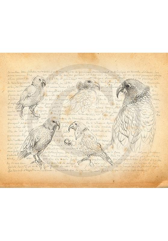 Marcello-art : Ornithologie 376 - Nestor kea