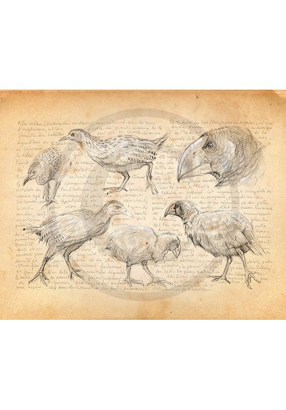 Marcello-art : Ornithologie 378 - Weka et takahé