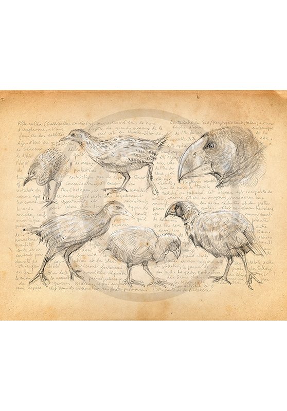 Marcello-art: Ornithology 378 - Weka and takahé