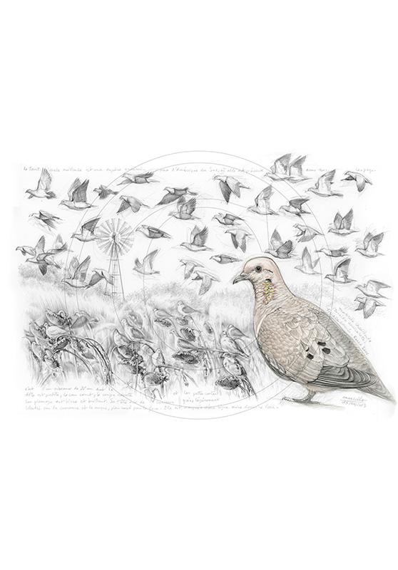 Marcello-art : Ornithologie 231 - Tourterelle oreillarde