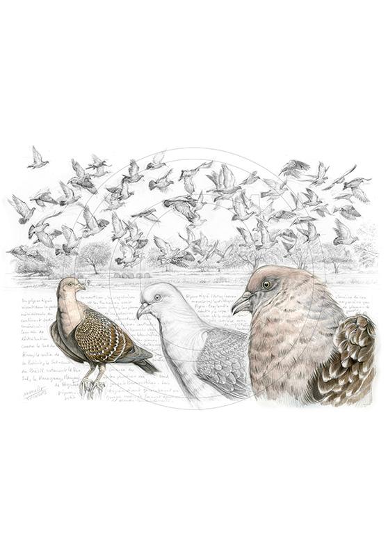 Marcello-art : Ornithologie 232 - Pigeon tigré