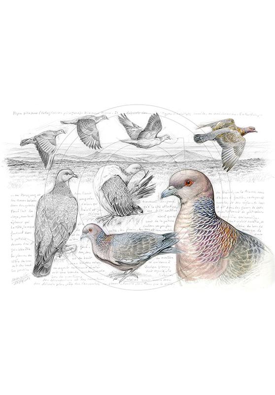 Marcello-art : Ornithologie 233 - Pigeon picazuro