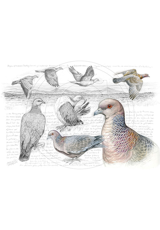 Marcello-art: Ornithology 233 - Picazuro Pigeon