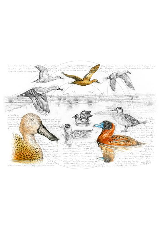 Marcello-art : Ornithologie 235 - Érismature routoutou et souchet Argentine