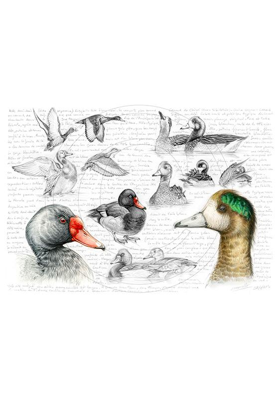 Marcello-art : Ornithologie 236 - Canard Siffleur du Chili et Nette demi deuil