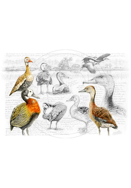 Marcello-art : Ornithologie 237 - Dendrocygnes ventre noir, veuf et fauve