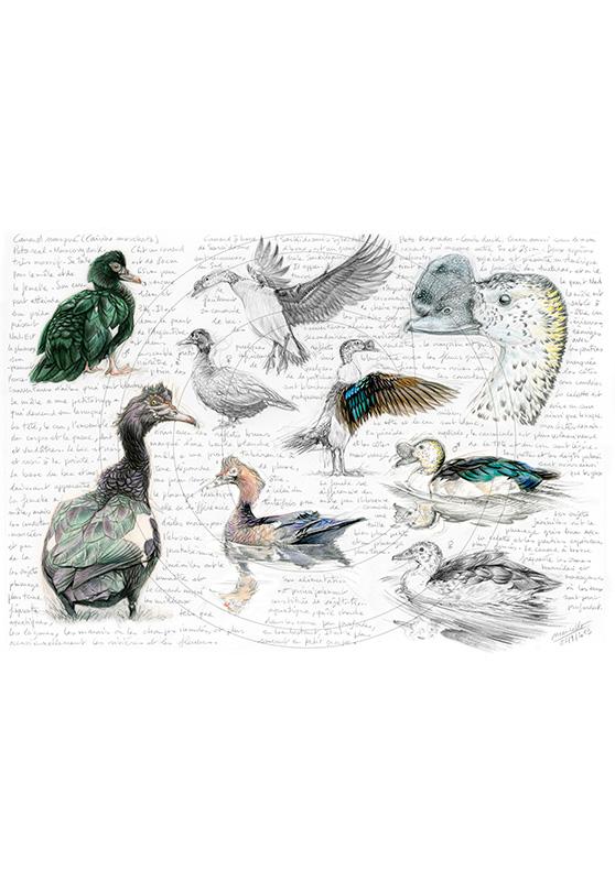 Marcello-art : Ornithologie 238 - Canard musqué et Canard à bosse