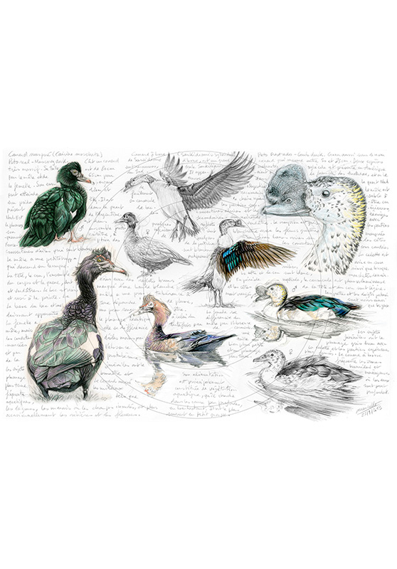 Marcello-art: Ornithology 238 - Muscovy Duck & Knob-billed Duck