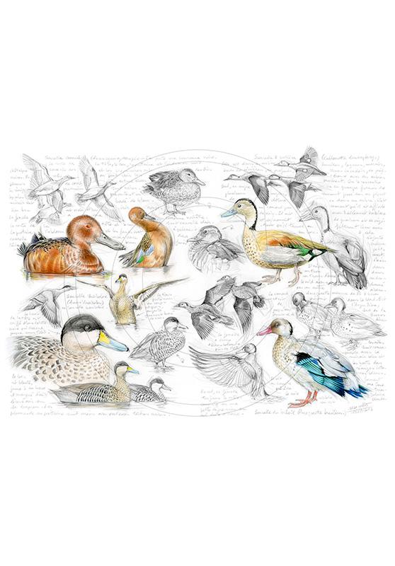 Marcello-art : Ornithologie 239 - Sarcelles cannelle, du Brésil, tachetée et versicolor