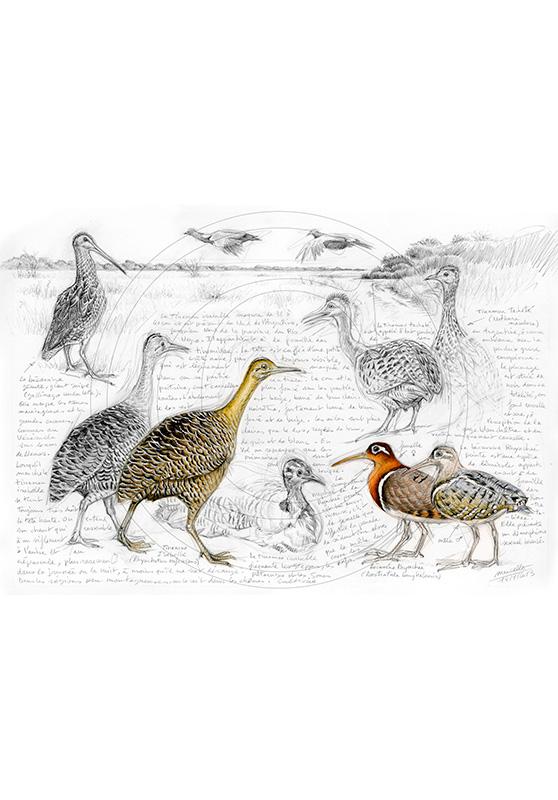 Marcello-art : Ornithologie 240 - Tinamous et Bécassines rhynchée