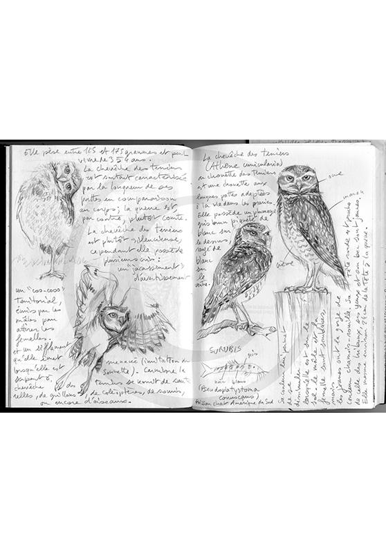 Marcello-art : Ornithologie 263 - Chevèche des terriers