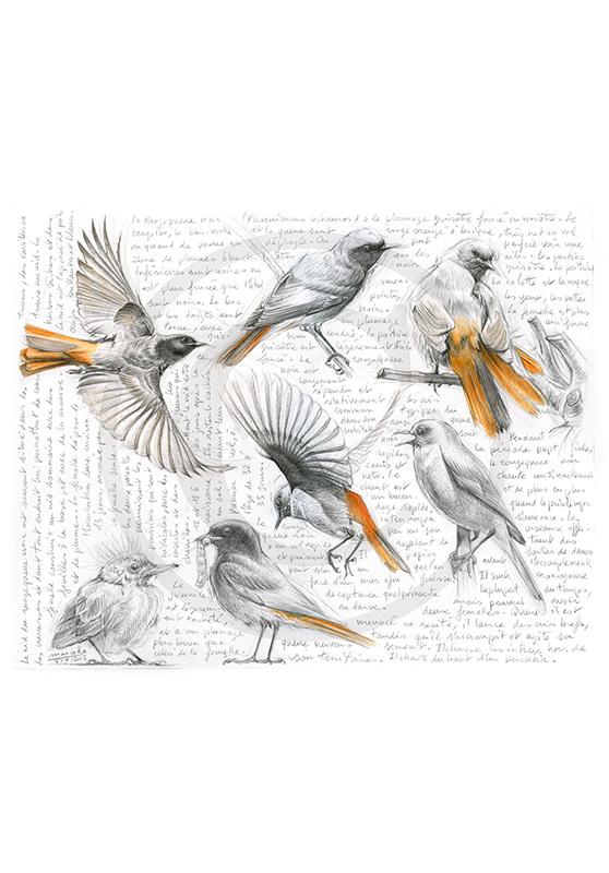Marcello-art : Ornithologie 281 - Rougequeue