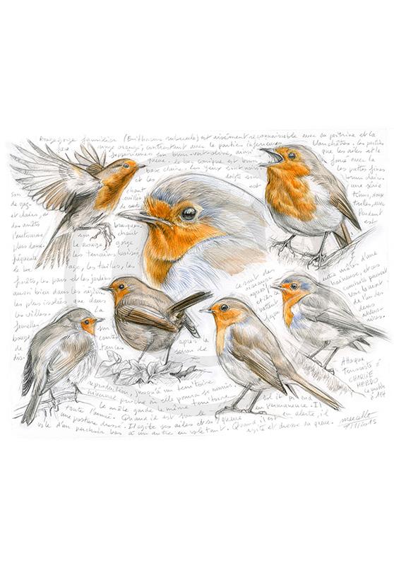 Marcello-art : Ornithologie 282 - Rougegorge