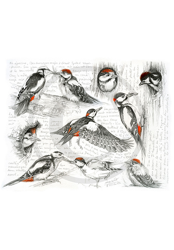 Marcello-art : Ornithologie 327 - Pic épeiche