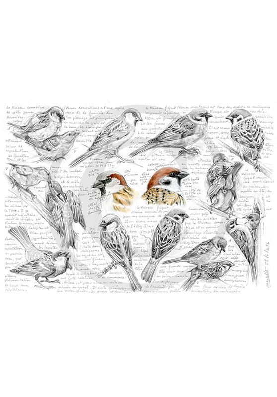 Marcello-art : Ornithologie 333 - Moineau domestique et friquet