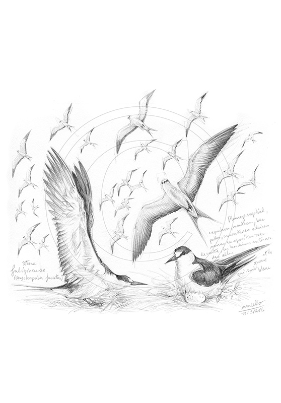 Marcello-art: Ornithology 337 - Sooty terns