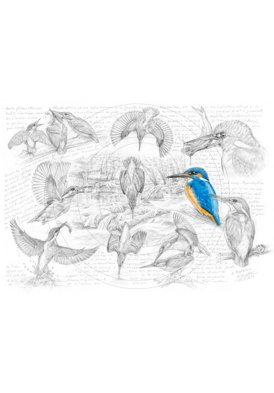Marcello-art: Ornithology 399 - Alcedo atthis