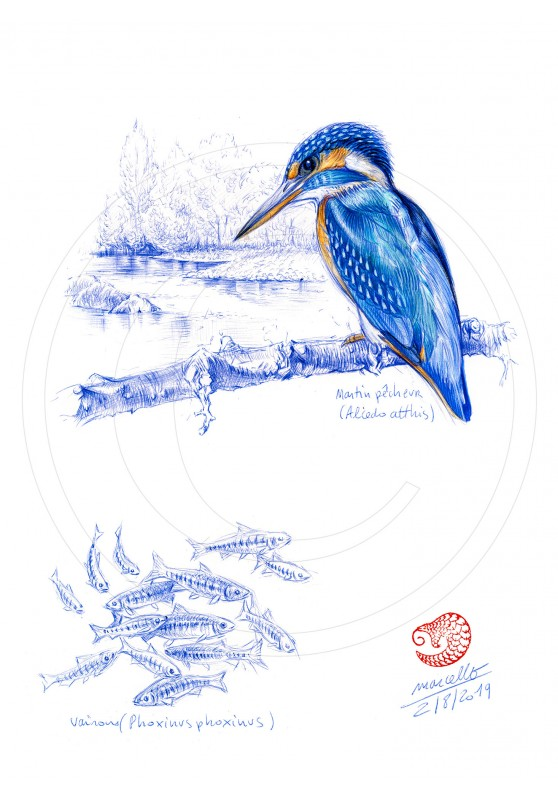 Marcello-art: Ornithology 398 - European Kingfisher