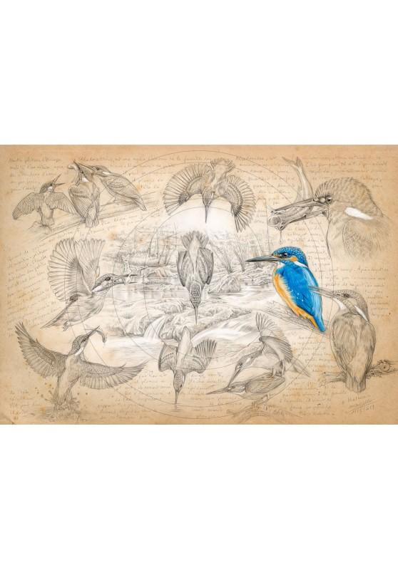 Marcello-art : Ornithologie 399 - Alcedo atthis