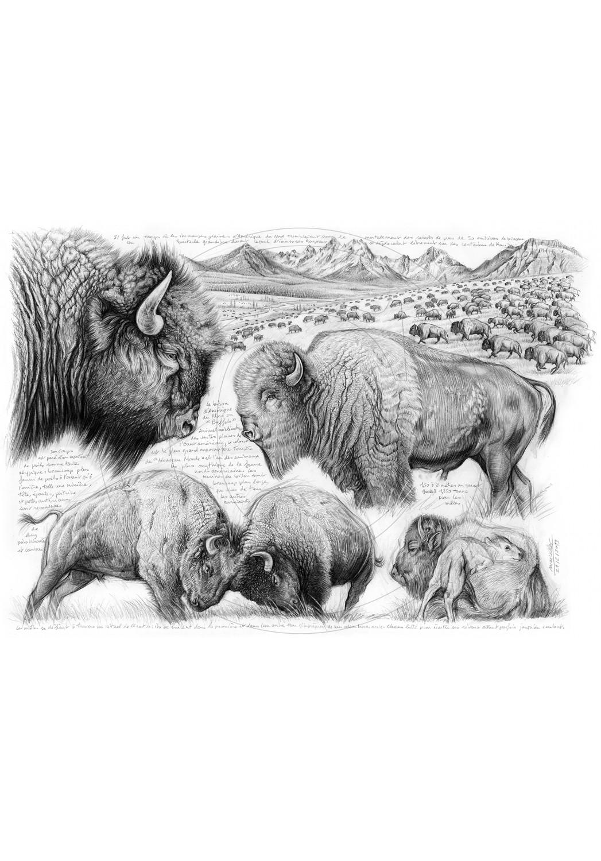 Marcello-art : Faune zones tempérées 390 - Tatanka, bison d'Amérique