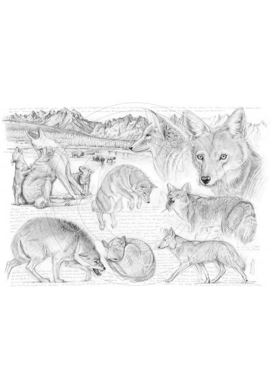 Marcello-art : Faune zones tempérées 391 - Coyote d'Amérique du nord