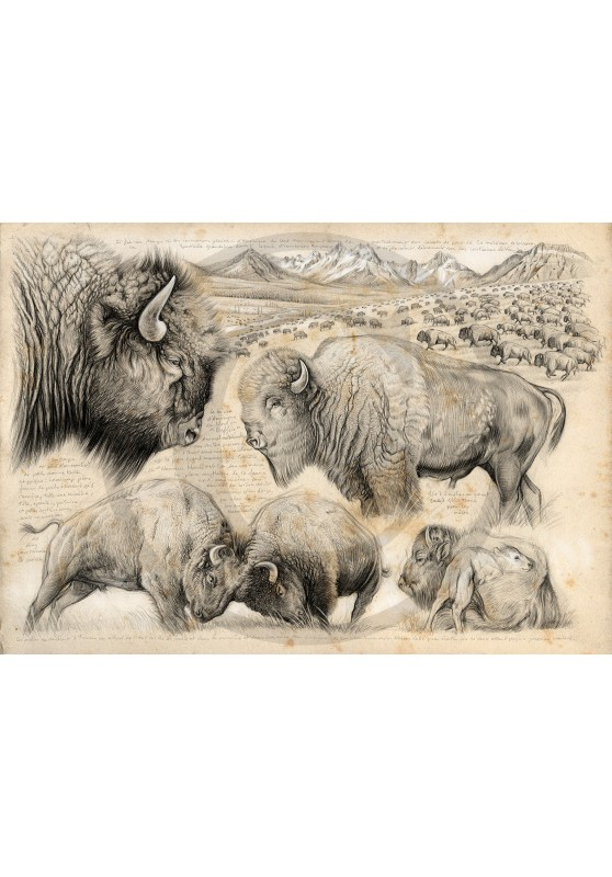 Marcello-art: Fauna temperate zone 390 - Tatanka, American buffalo