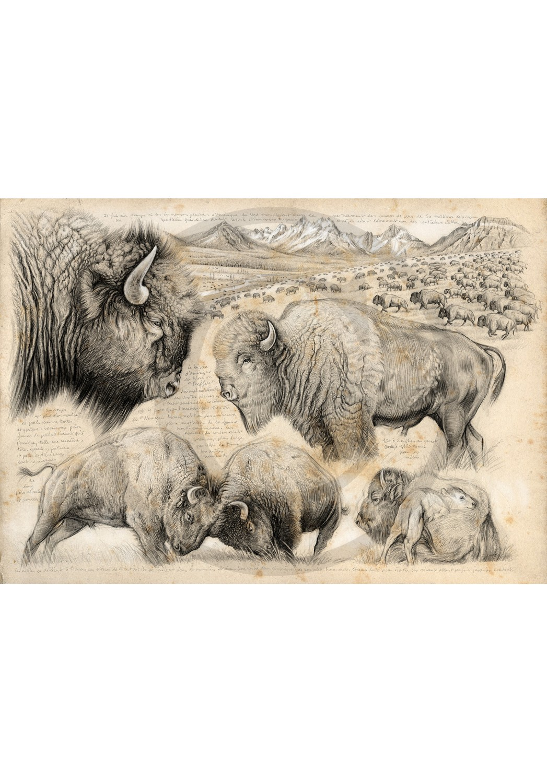 Marcello-art : Faune zone tempérée 390 - Tatanka, bison d'Amérique