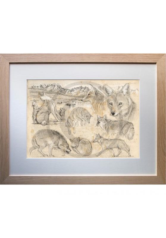 Marcello-art: Fauna temperate zone 391 - American coyote