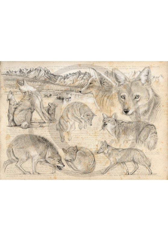 Marcello-art: Fauna temperate zone 391 - American coyote