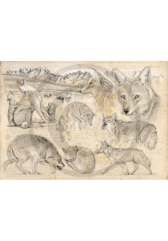 Marcello-art : Faune zone tempérée 391 - Coyote d'Amérique du nord