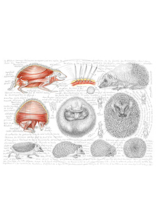 Marcello-art : Faune zones tempérées 401 - Anatomie Erinaceus europaeus