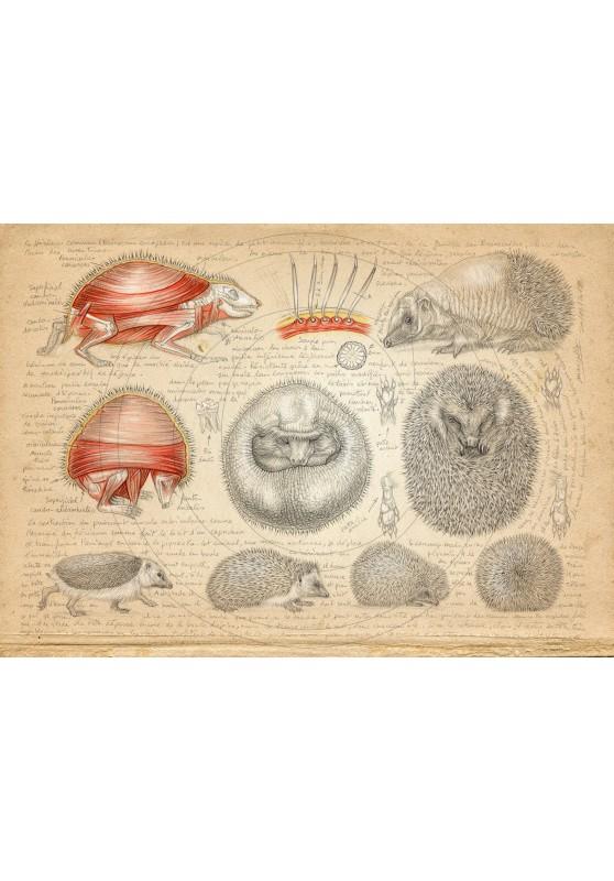 Marcello-art : Faune zone tempérée 401 - Anatomie Erinaceus europaeus