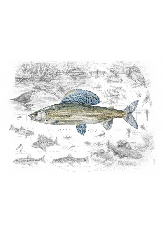 Marcello-art: Aquatic fauna 395 - Grayling Nowakowski