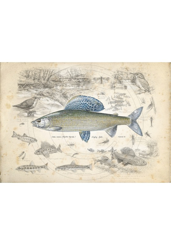 Marcello-art: Aquatic fauna 395 - Grayling Nowakowski