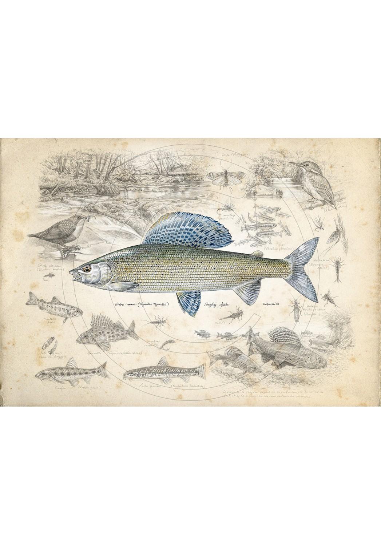 Marcello-art : Faune aquatique 395 - Grayling Nowakowski