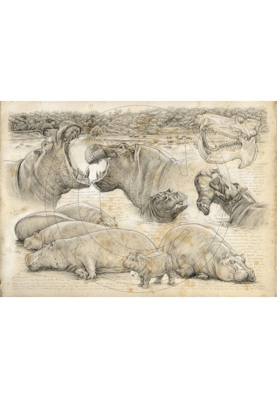 Marcello-art: On paper 402 - Olmakau, Hippopotamus