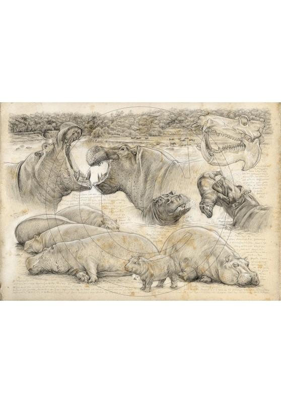 Marcello-art : Sur papier 402 - Olmakau, hippopotame