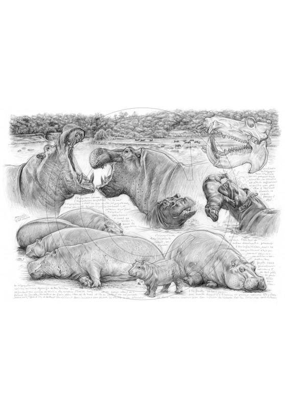 Marcello-art : Faune Africaine 402 - Olmakau, hippopotame