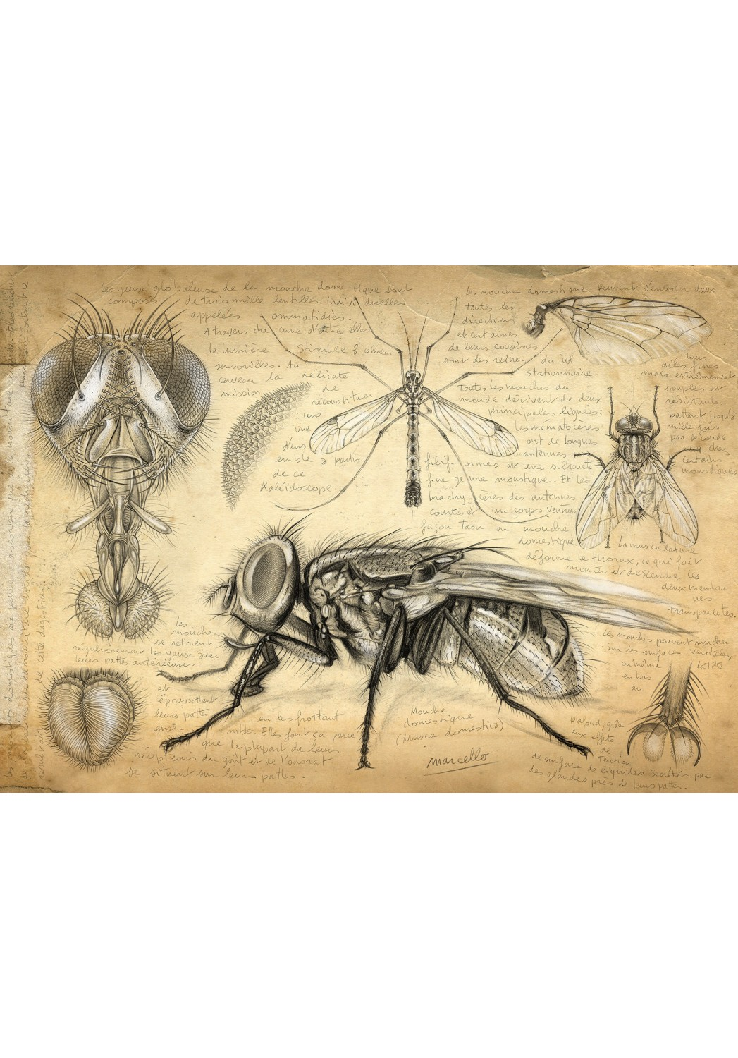 Marcello-art: Wish Card 367 - House fly