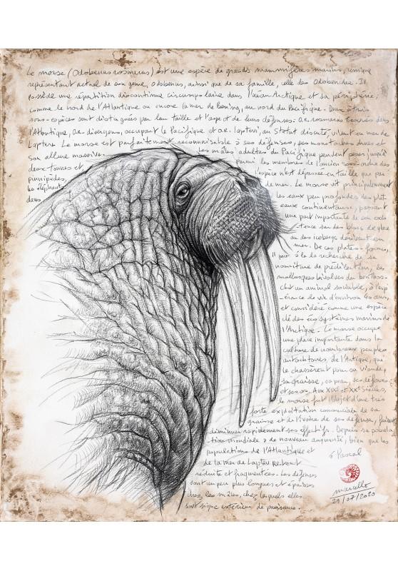 Marcello-art: Wild temperate zones 405 - Walrus (Odobenus rosmarus)