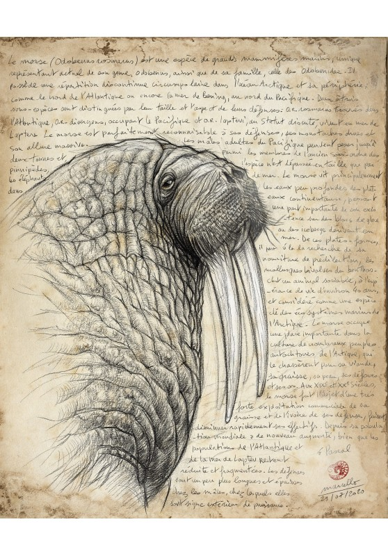 Marcello-art: Fauna temperate zone 405 - Walrus (Odobenus rosmarus)