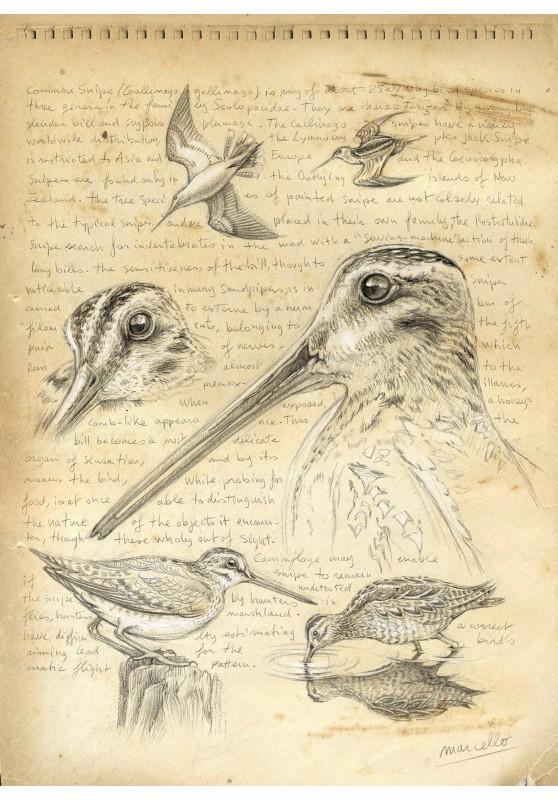 Marcello-art : Cartes de faire part 168 - Bécassine des marais