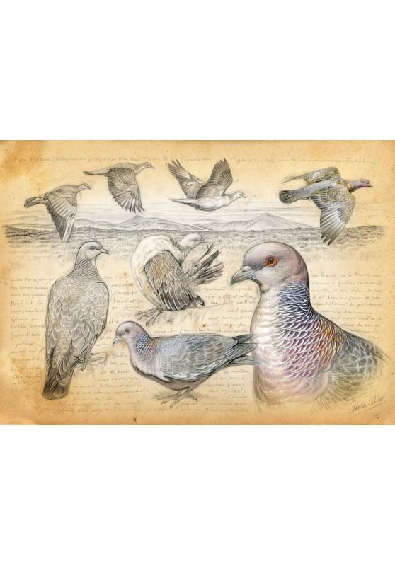 Marcello-art : Cartes de faire part 233 - Pigeon picazuro